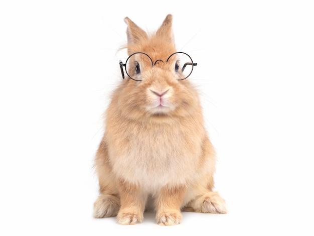 白い壁に分離されて座っている眼鏡をかけている赤茶色のかわいいウサギ