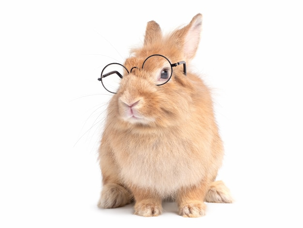 Red-brown cute  rabbit wearing glasses sitting isolated on white wall.