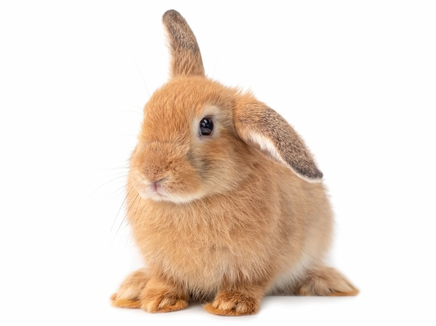 Red-brown cute young rabbit isolated lovely young rabbit sitting.