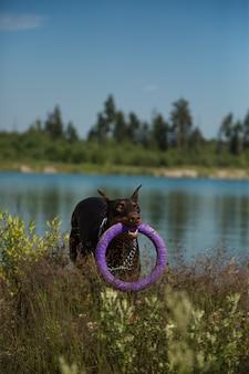 引き手で走っている赤茶色のドーベルマン犬