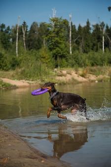 湖から走っている引き手と赤茶色のドーベルマン犬