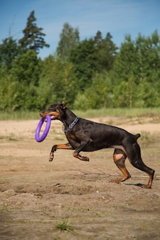 湖のビーチの前を走っている引き手と赤茶色のドーベルマン犬