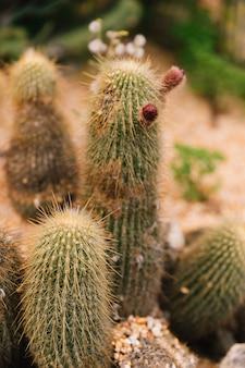 スパイシーなサボテンの赤い芽