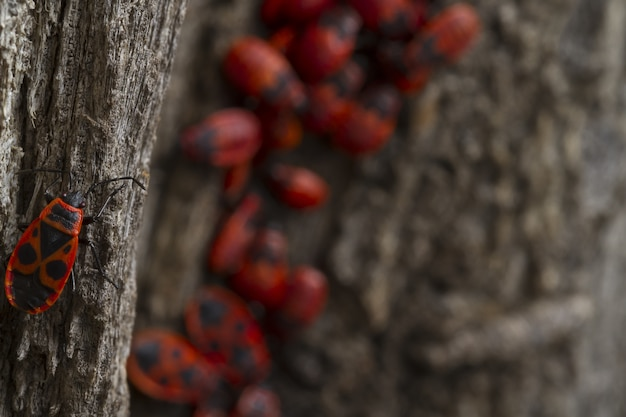 Red bugs walking on the tree