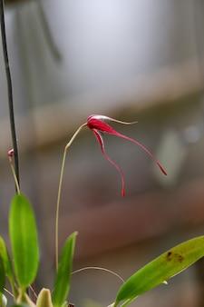 Орхидея красный бульбофиллум