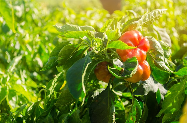 Red bulgarian pepper grows in the field. growing organic vegetables. eco-friendly products.