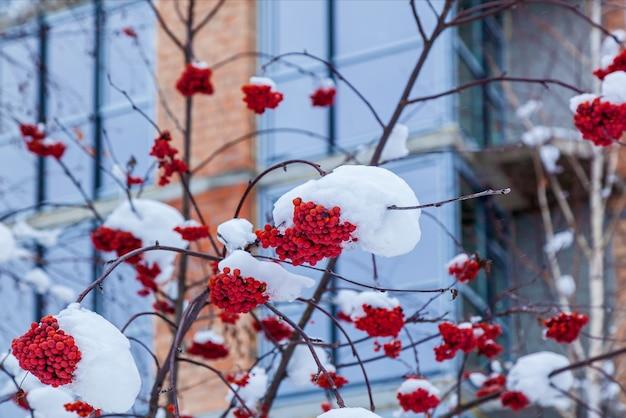 Красные грозди рябины весят на засыпанной первым снегом ветке.