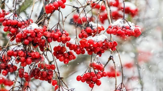 降雪時の茂みに赤いガマズミ属の木の房