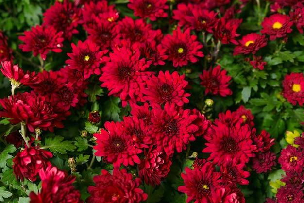 붉은 부르고뉴 국화 꽃 부시 가을 배경 화려한 국화 식물 패턴