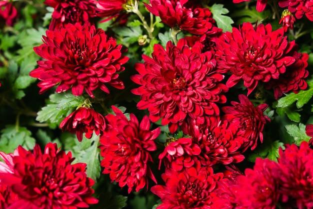 Red burgundy chrysanthemum flowers bush autumn background colorful chrysanthemum plants pattern in a...