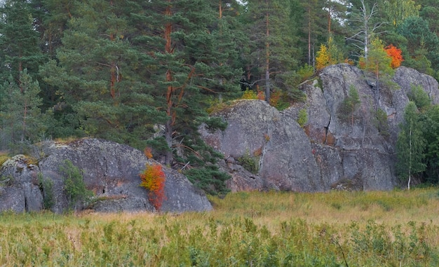 Red bushes on granite rocks in the forest. autumn in karelia russia