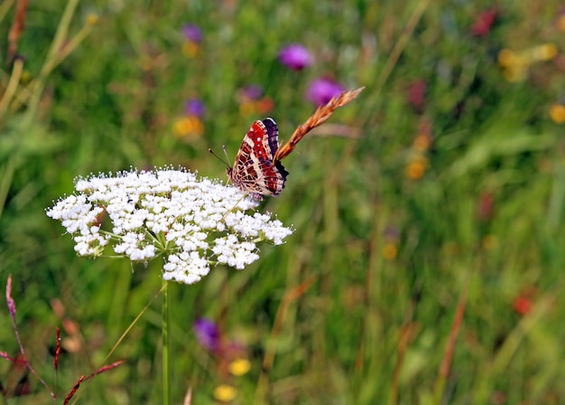 Red butterfly on white flower