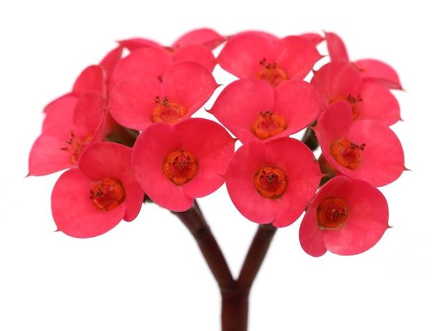 흰색 배경 위에 절연 붉은 선인장 꽃