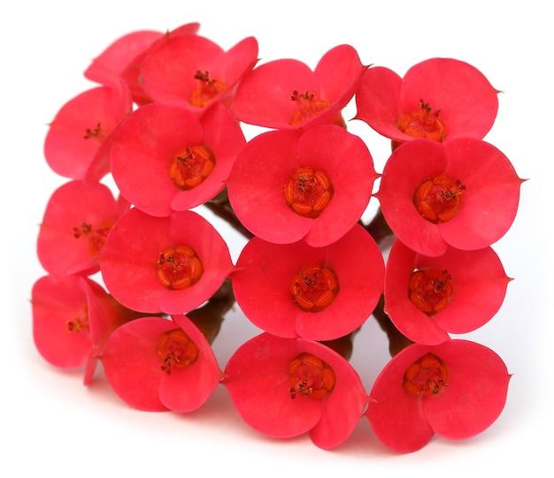 흰색 배경 위에 붉은 선인장 꽃