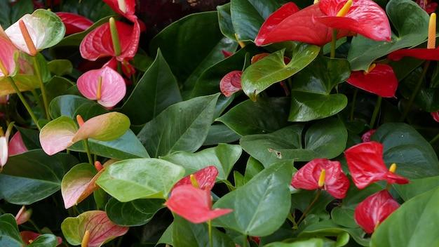 Красный цветок лилии каллы темно-зеленые листья. ботанический цветочный цветок. экзотические тропические джунгли тропических лесов