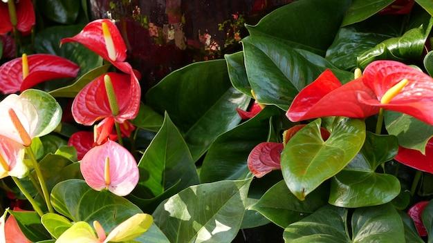 Красный цветок лилии каллы, темно-зеленые листья. элегантный бордовый цветочный цветок. экзотические тропические джунгли, тропический лес, стильная модная ботаническая атмосфера. естественная яркая зелень, райская эстетика. арум завод