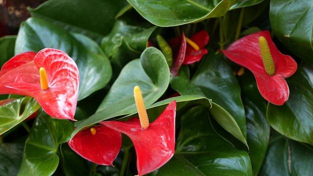 레드 칼라 백합 꽃, 짙은 녹색 잎, 꽃 꽃, 이국적인 열대 식물 아룸 식물