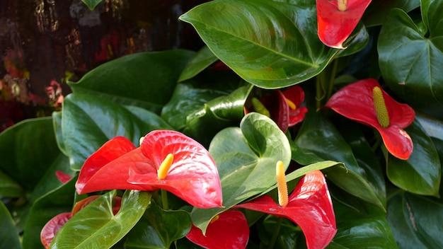 Красный цветок лилии каллы, зеленые листья. цветочный цветок. экзотические тропические джунгли. арум завод
