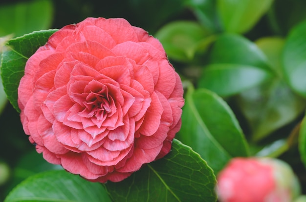 Red camellia flower. copy space. nature photography. Premium Photo