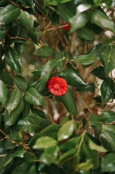 Red camellia flower in leaves on branches.