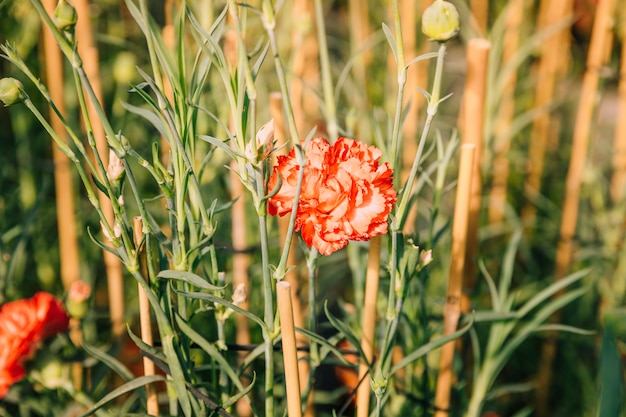 Red carnation flower in the field