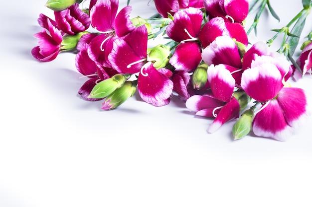 白い背景で隔離の赤いカーネーションの花