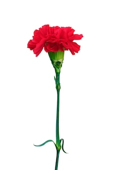 Red carnation isolated on white