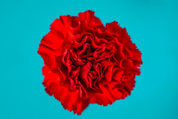 Red carnation on turquoise