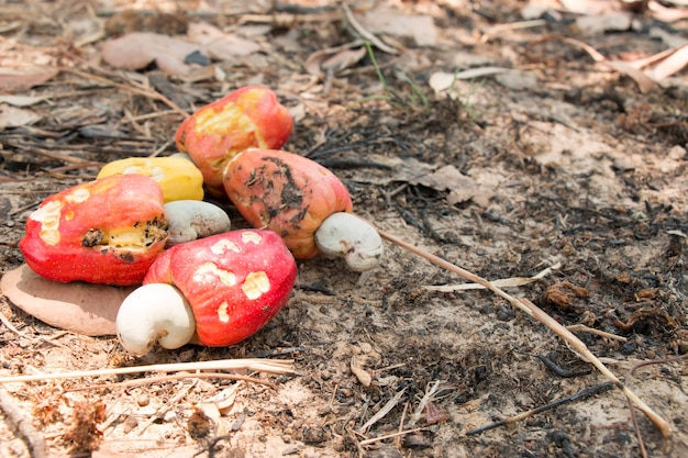 Red cashew nuts harvest and collect all on soil floor