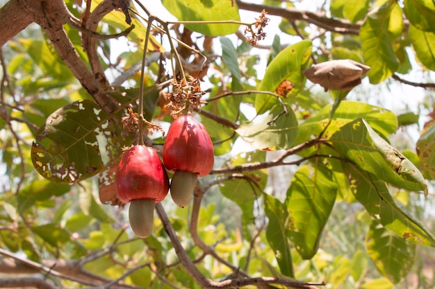 Red cashew nuts on tree Premium Photo