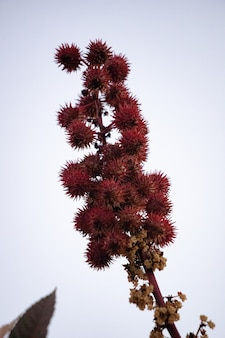 Ricinus communis 종의 붉은 피마자 식물