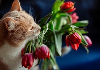 Red cat and dark pink tulips