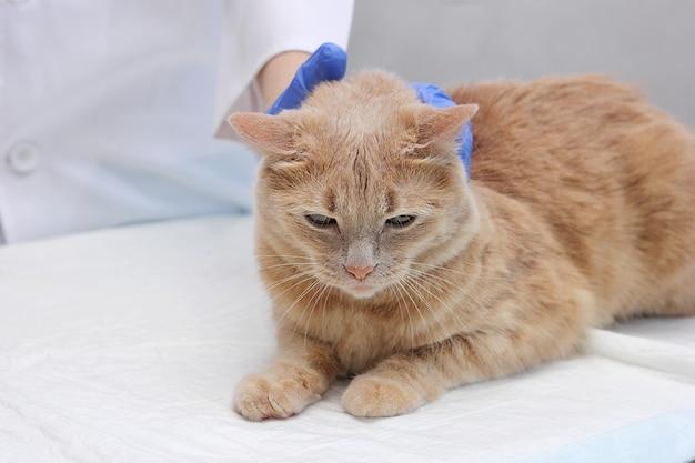獣医のレセプションで赤猫。獣医で。猫は獣医師によって検査されています。