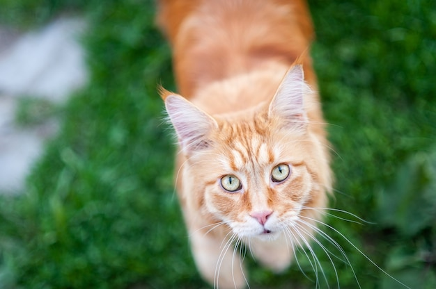 Red cat breed maine coon on the grass