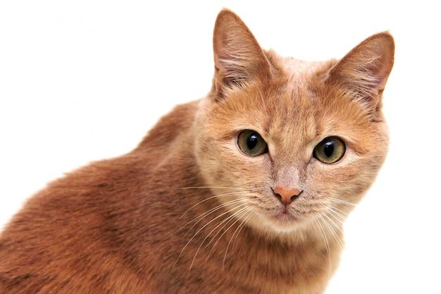 赤い猫は注意深く慎重にカメラを直接見ます。
