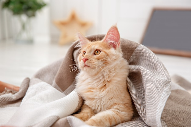 Red cat covered with a blanket . red cat maine coon