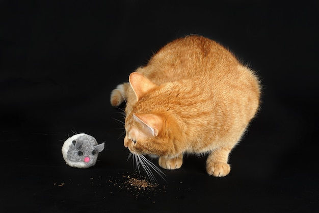 Red cat eats valerian and turns on a toy mouse.