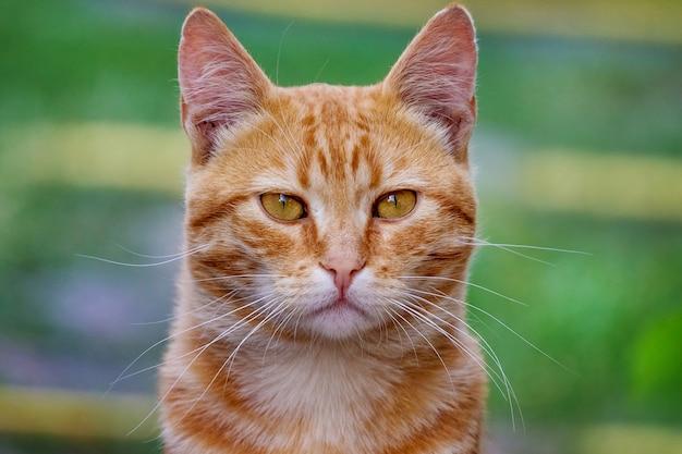緑の草の背景に赤い猫