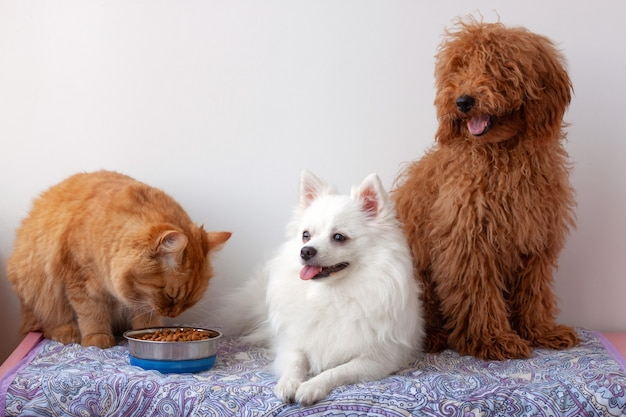 Рыжий кот ест еду из миски рядом с белым маленьким шпицем и сидит миниатюрный красно-коричневый пудель.