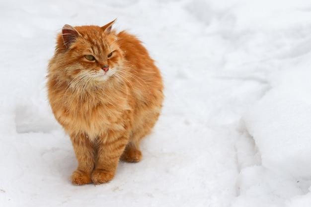 빨간 고양이는 텍스트 대처 공간에 대한 눈 장소에 있습니다.