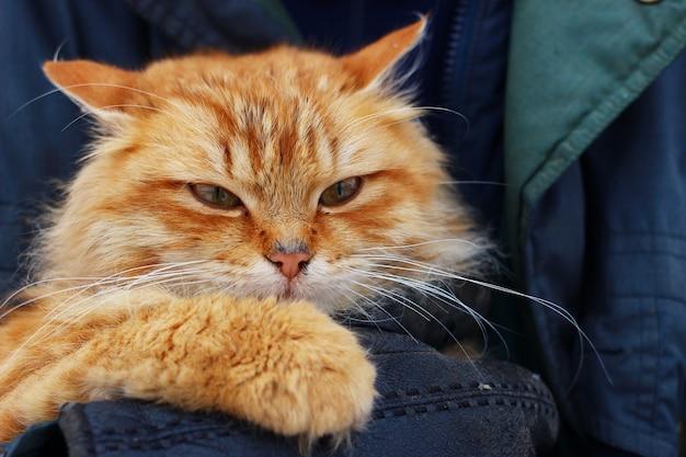 빨간 고양이는 그의 손에 만족합니다