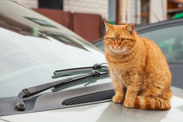 Red cat is sitting on the hood of a car