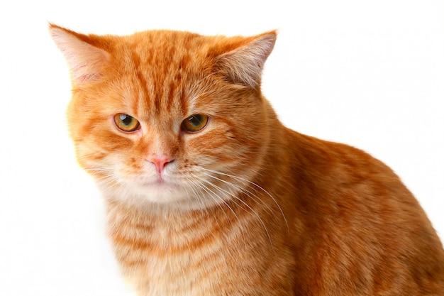 白い背景で隔離赤い猫