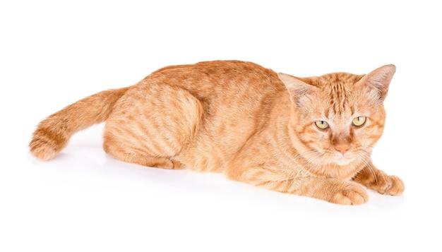 白い背景で隔離の赤い猫