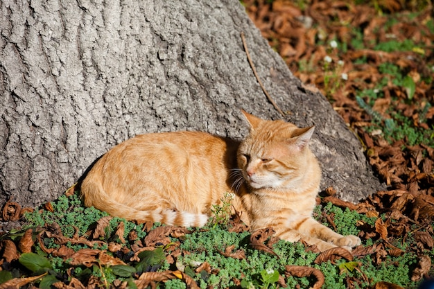 Red cat lies beneath an old tree on fallen leaves