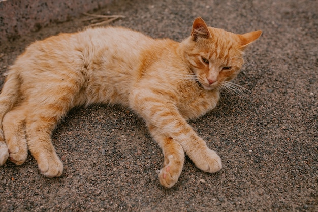 Red cat lies on the ground