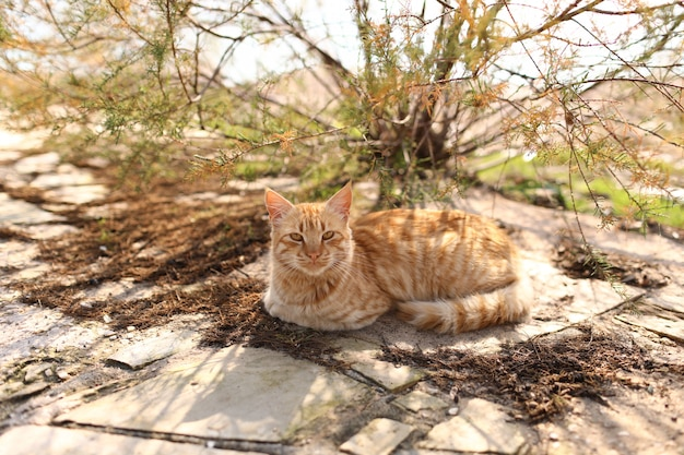 Red cat lies outside under the bush on a sunny day