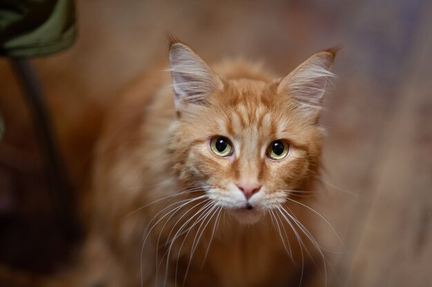 Red cat of the maine coon breed