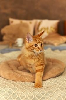 ベッドの柔らかい枕の上に横たわって悲しそうに見える、目覚めた赤猫のメインクーン