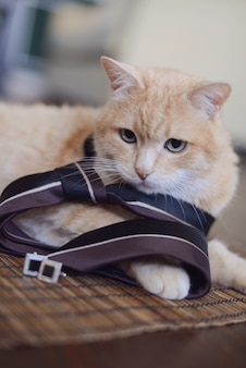 Red cat in a men's tie with cufflinks lying in the room